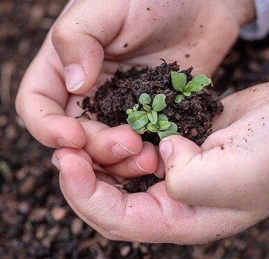 Semillas o plantones